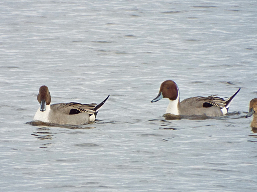 male-pintails