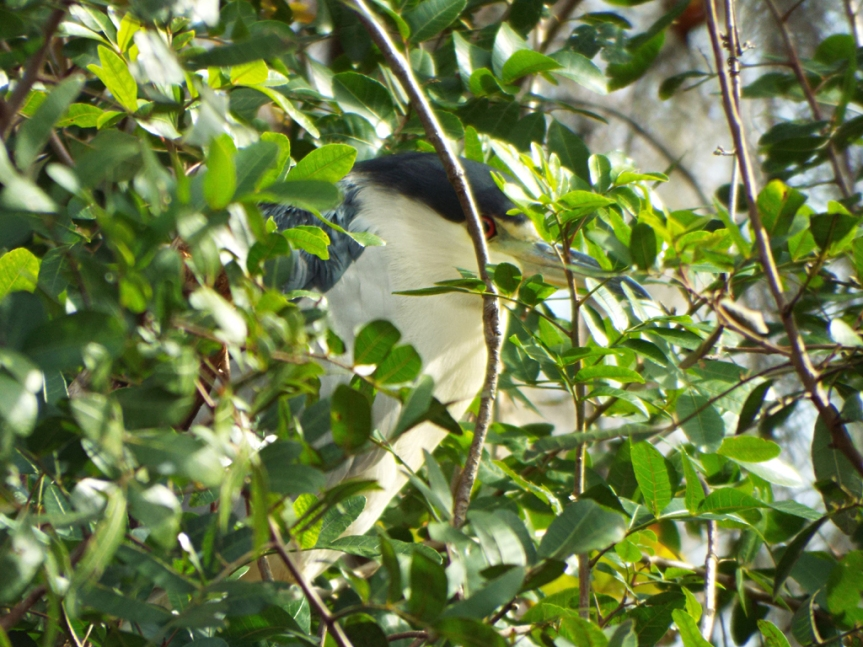 marian-black-crowned-night-heron
