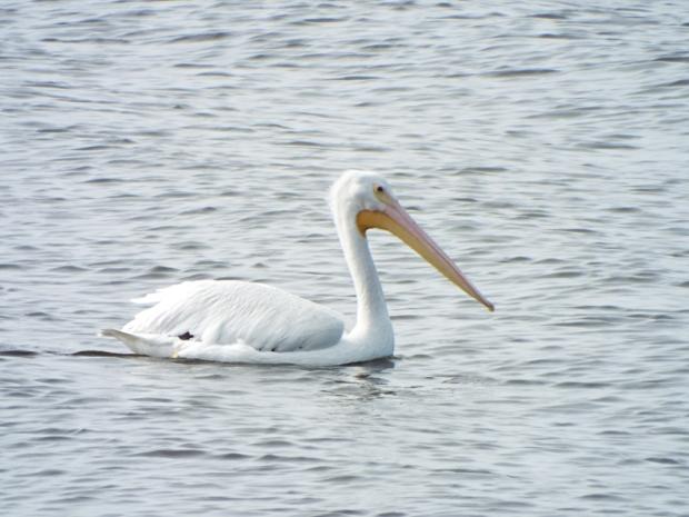 marian-pelican