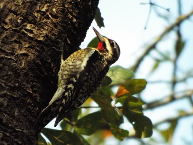 yellow-bellied-sapsucker