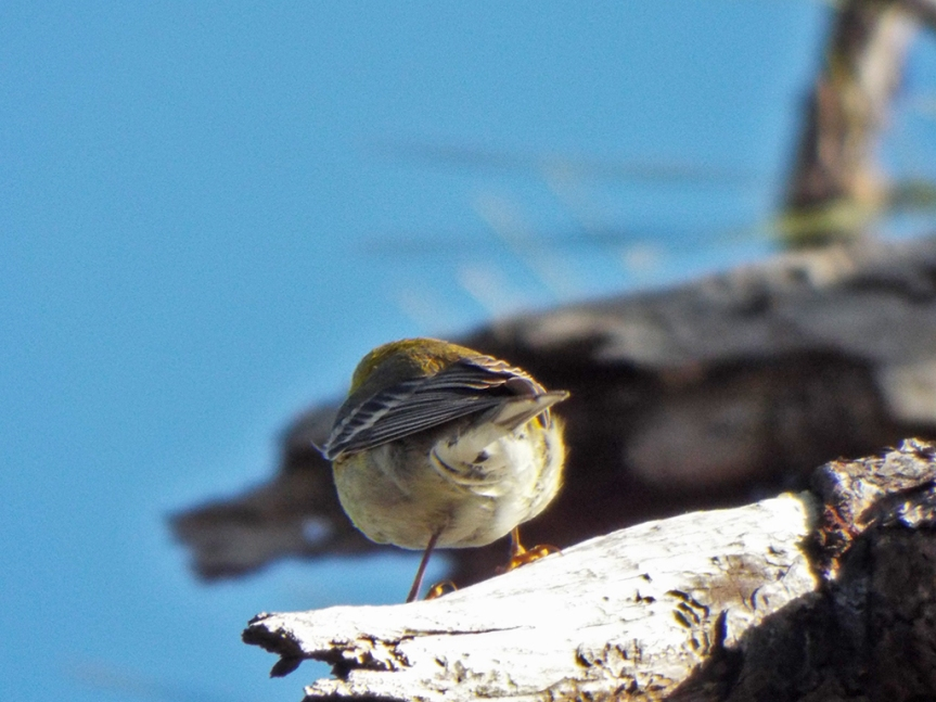 pine-warbler-rear