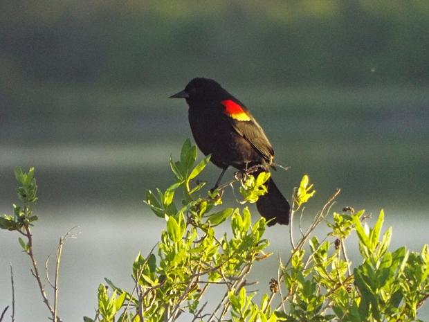 redwing-blackbird