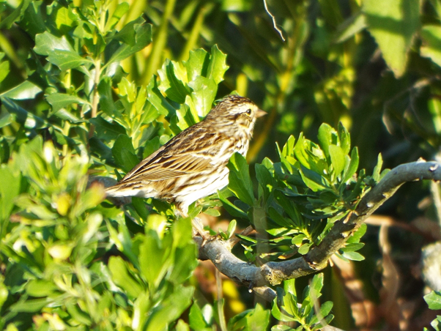 savannah-sparrow