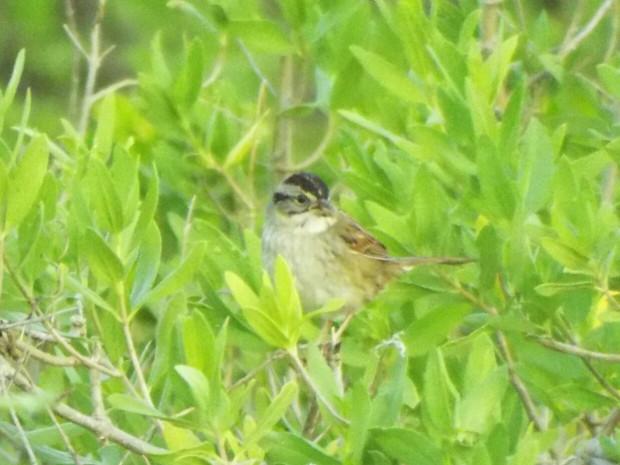 sparrow-mystery-3-4-2017