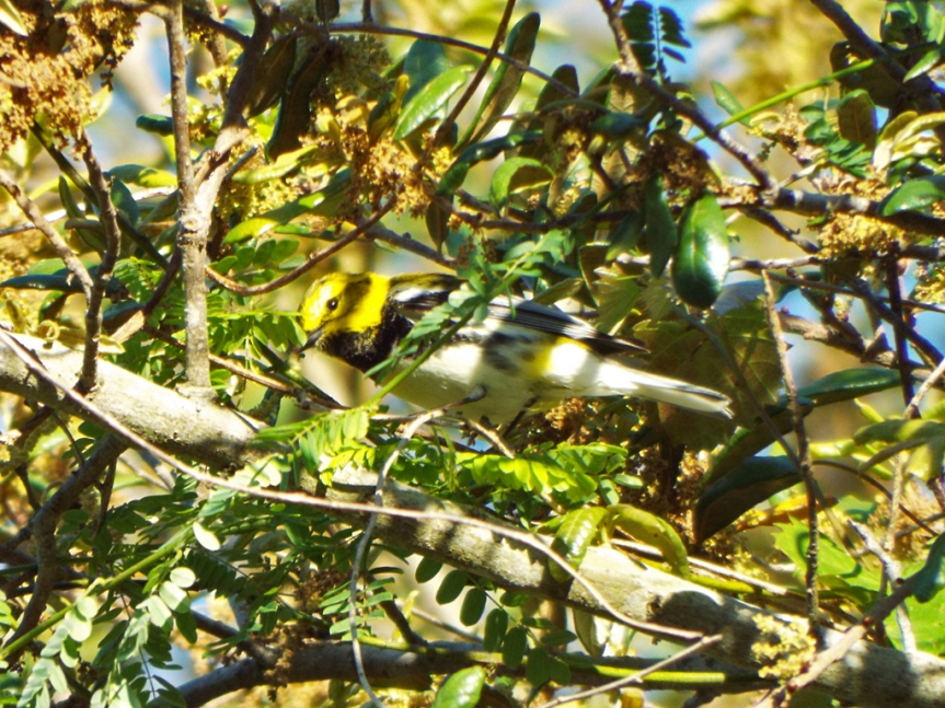 black-throated-green3