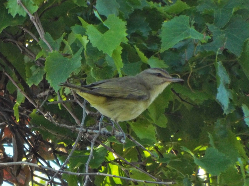 black-whiskered-vireo
