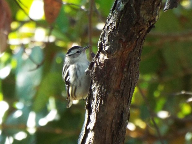 black-and-white-warbler2