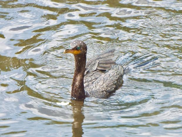 cormorant-swim