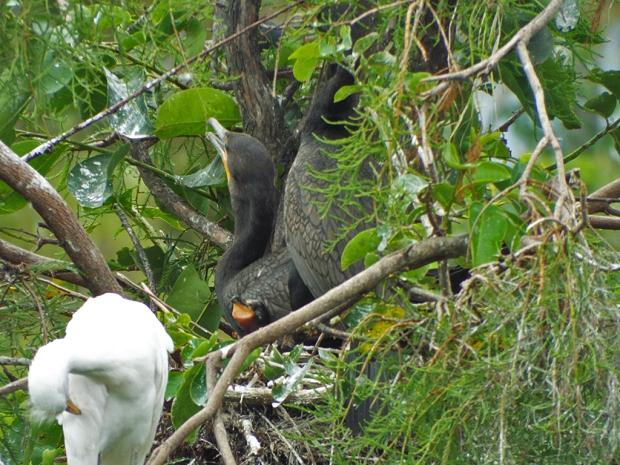 cormorants-w-chick