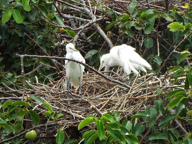 egret-chicks-on-nest