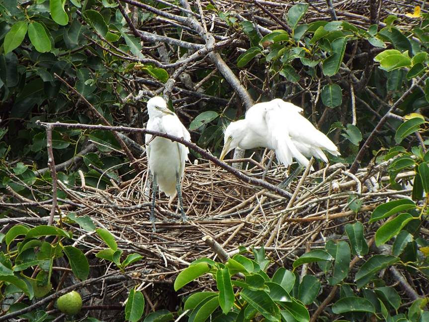 egret-chicks-on-nest