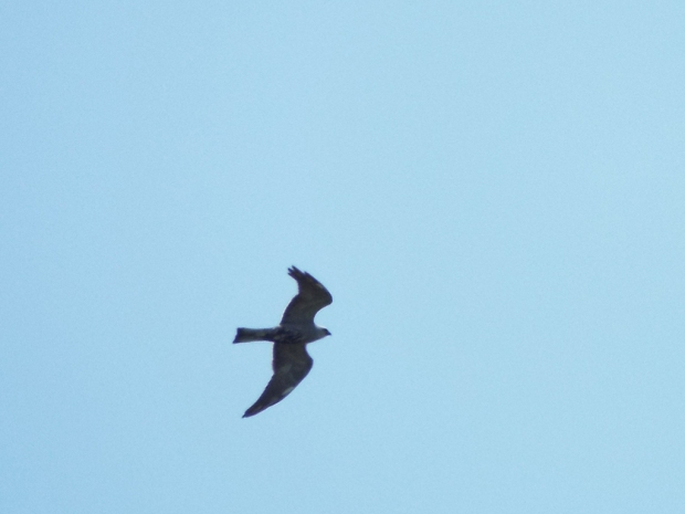 mississippi-kite