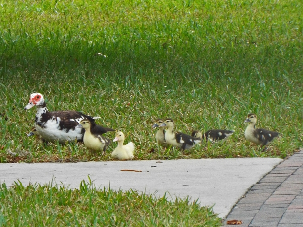 muscovy-with-ducklings