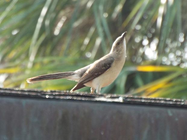 tropical-mockingbird1