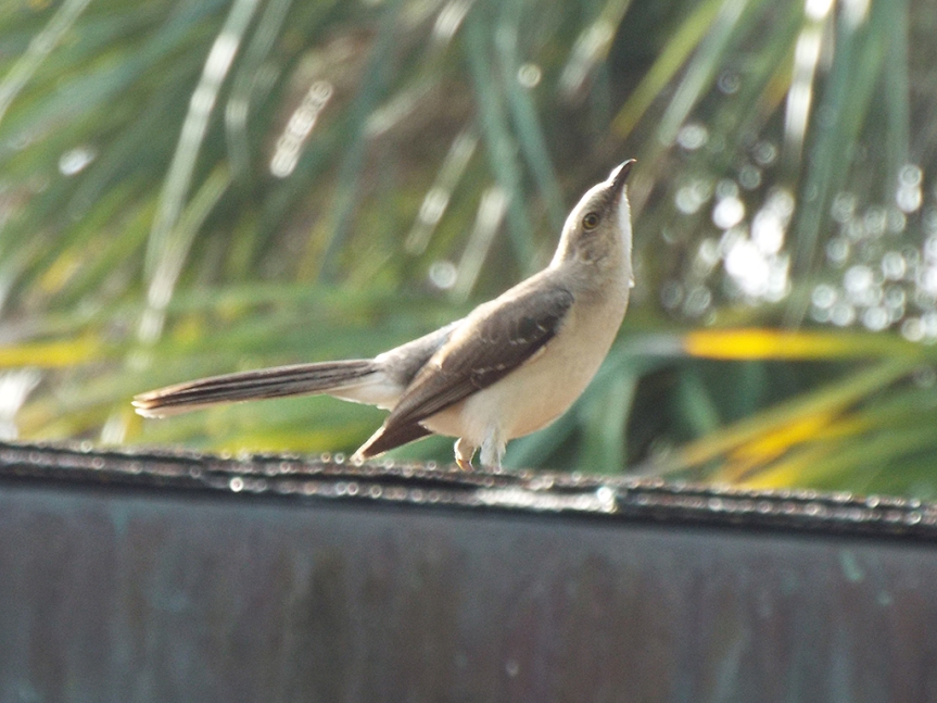 tropical-mockingbird1
