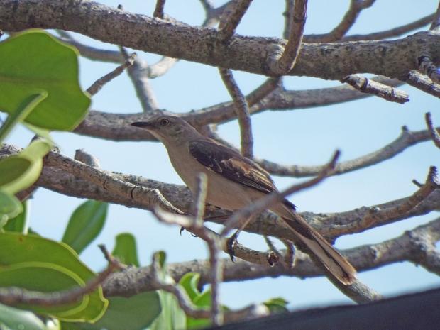 tropical-mockingbird2