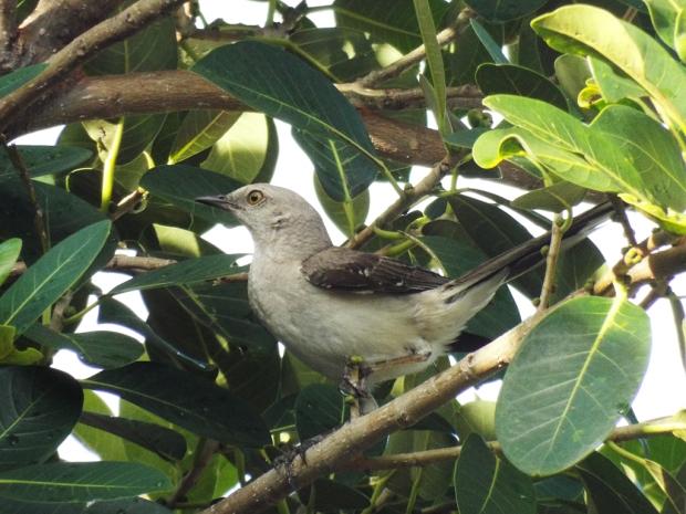 tropical-mockingbird3