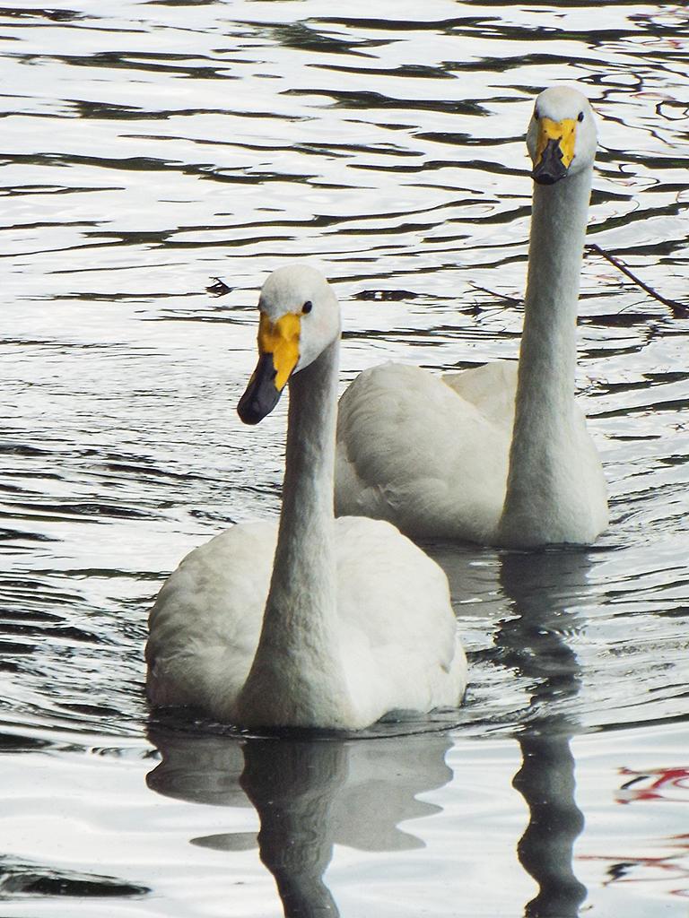 whooper-swans1