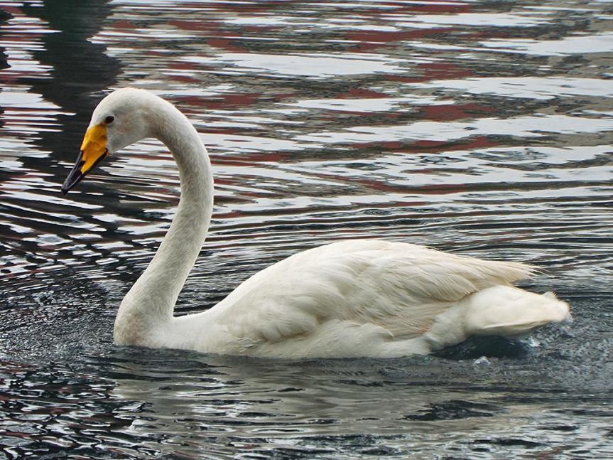 whooper-swans3