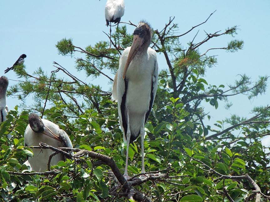 wood-stork-fledge2