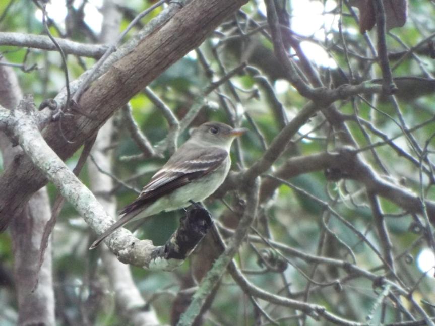 alder-flycatcher1