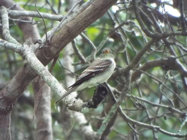 alder-flycatcher2