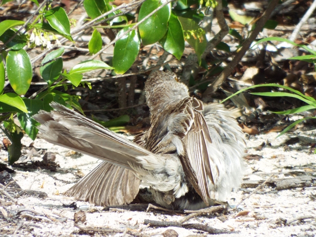 bahama-mockingbird-faux1
