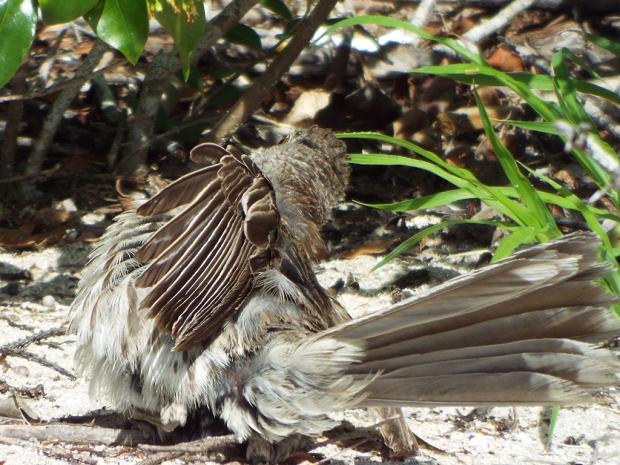 bahama-mockingbird-faux2