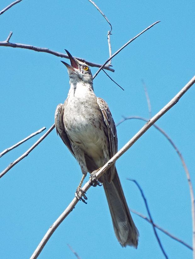 bahama-mockingbird1