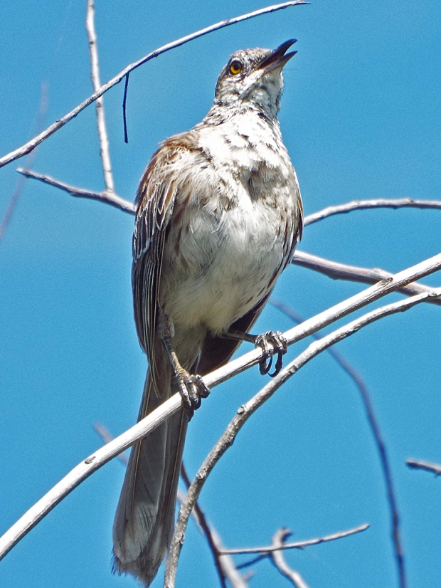 bahama-mockingbird3