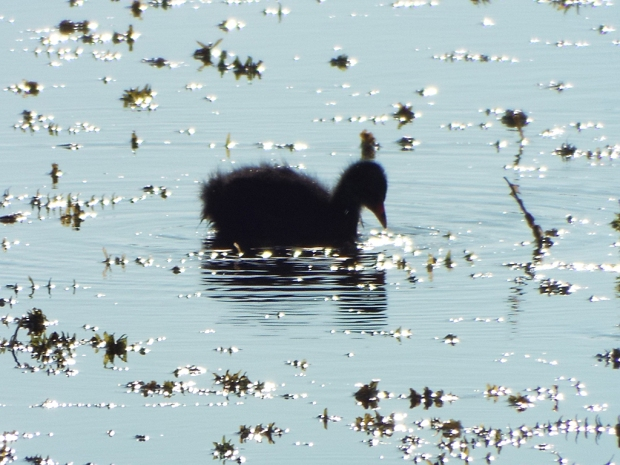 common-gallinule-chick