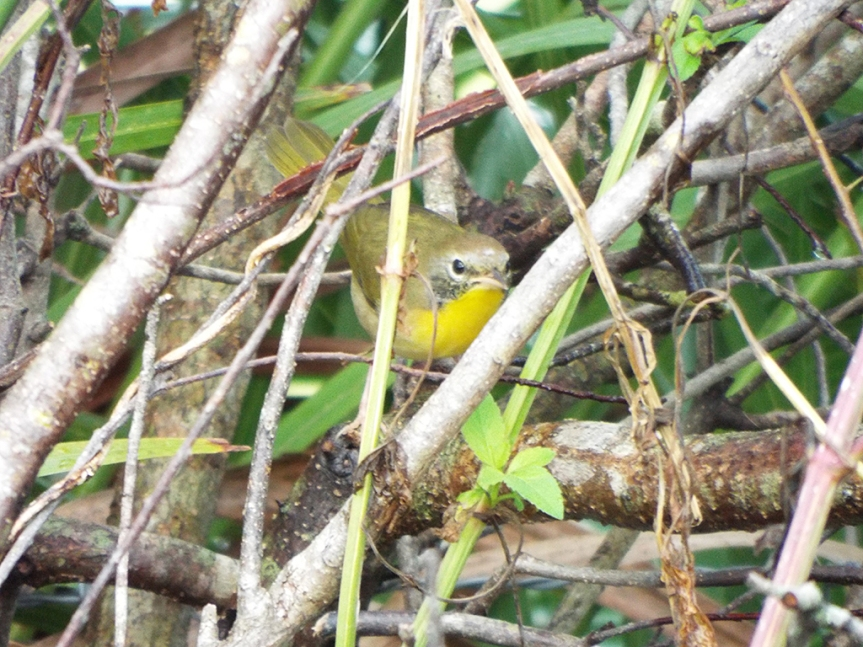 common-yellowthroat