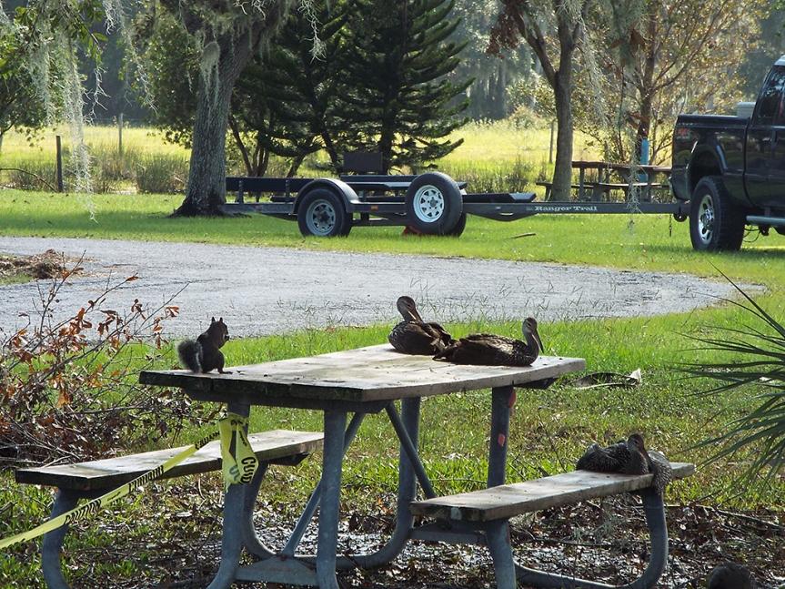 limpkin-picnic
