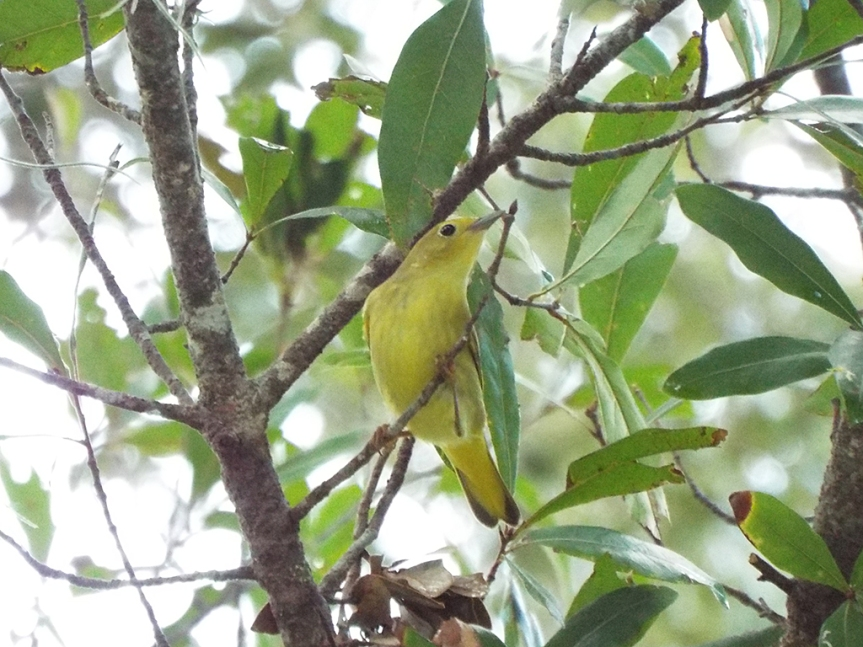 yellow-warbler-female