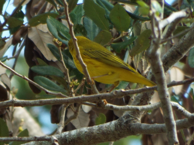 yellow-warbler-male1