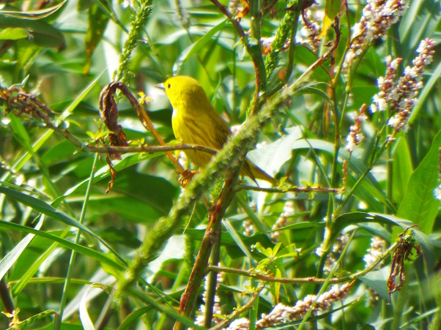 yellow-warbler-male2
