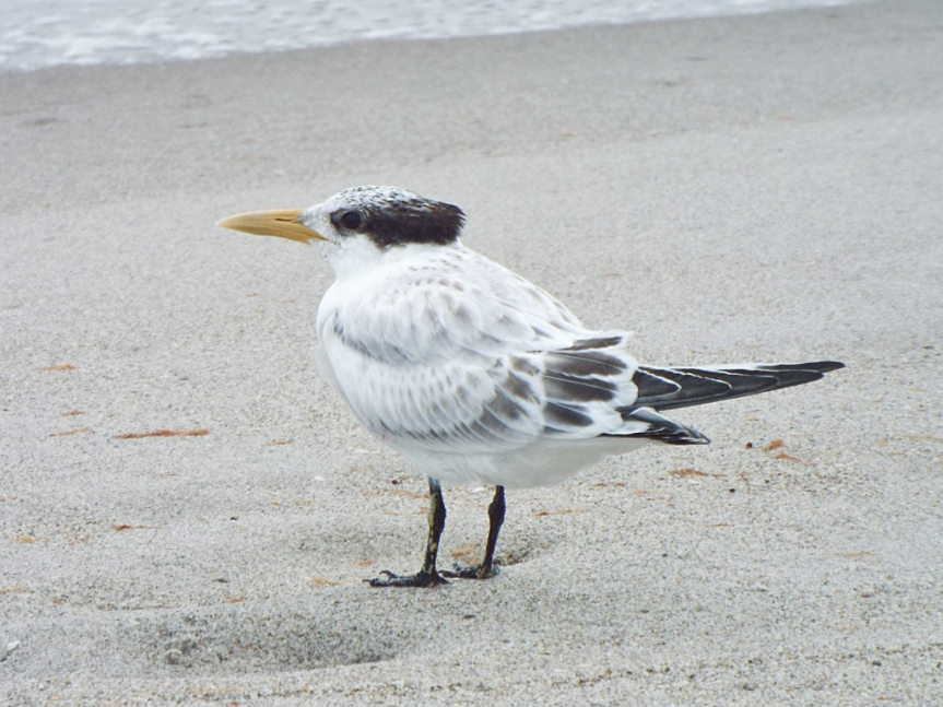 young-royal-tern