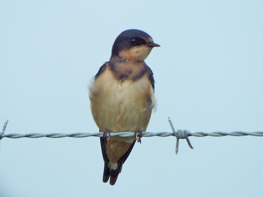 barn-swallow2