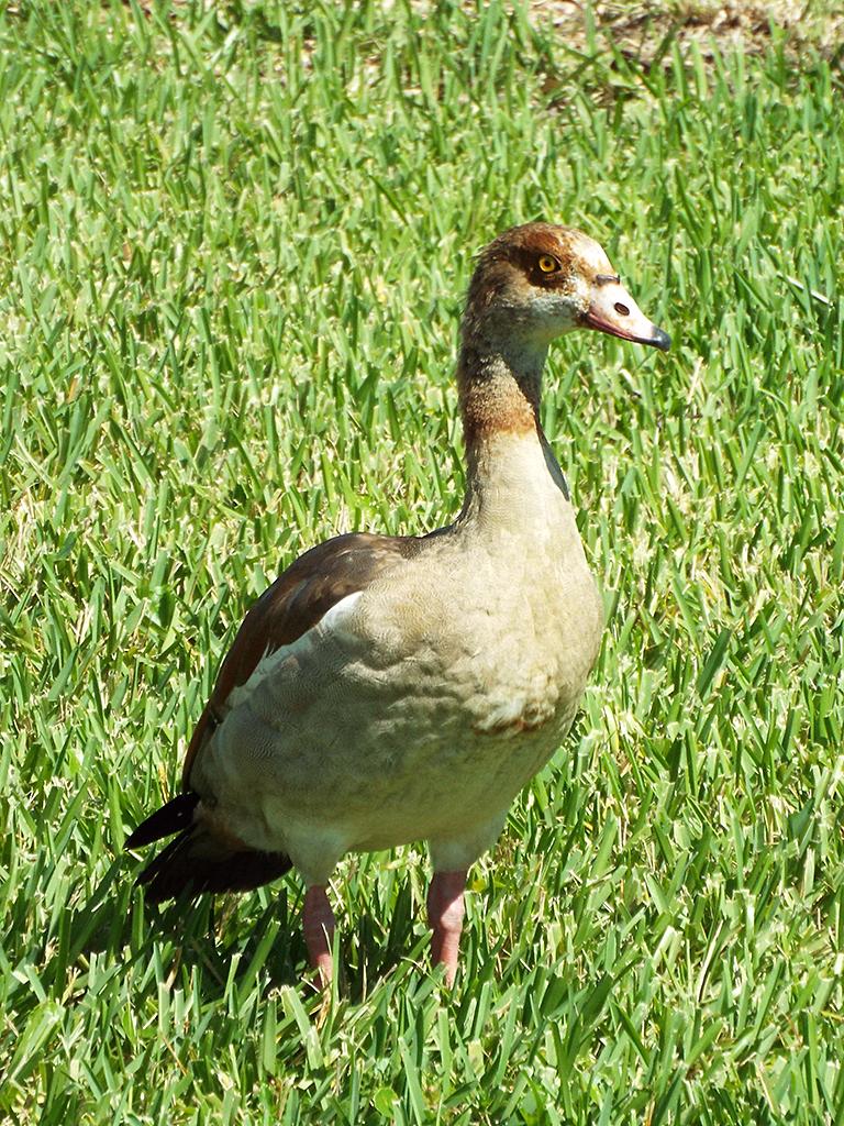 eygptian-goose