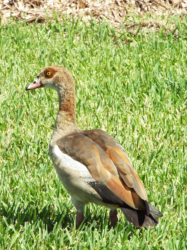 eygptian-goose2