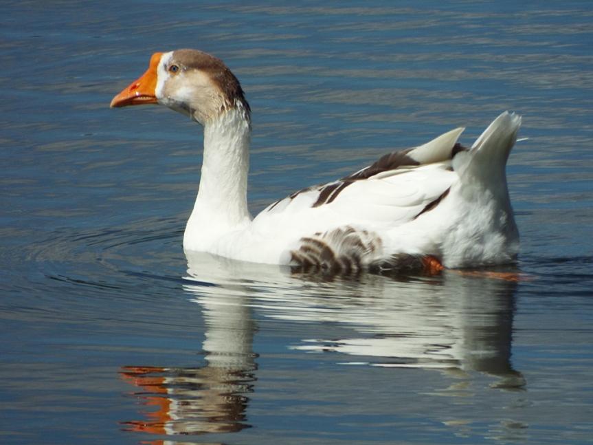 feral-goose