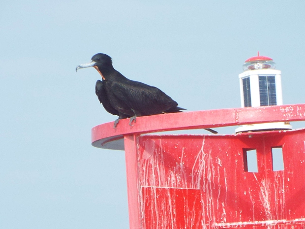 magnificent-frigatebird2