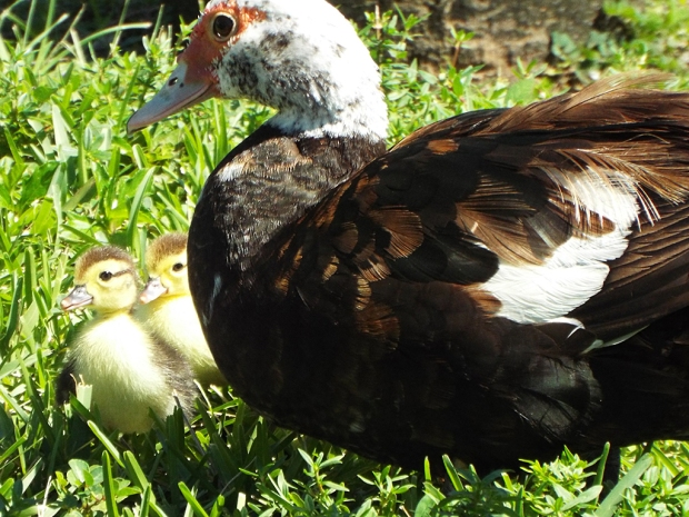 muscovy-duck-with-chicks