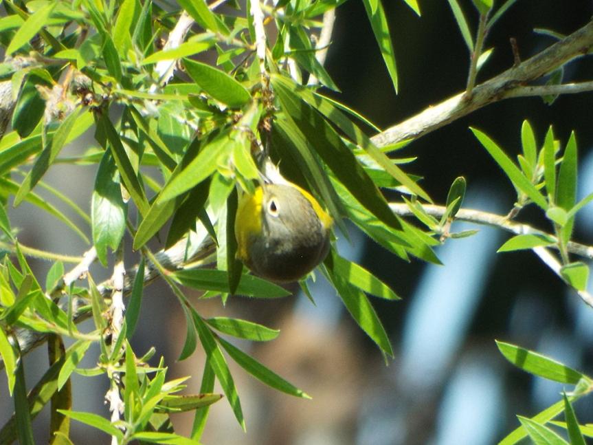 nashville-warbler-2