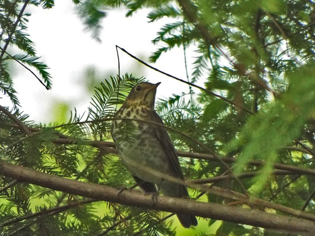 swainsons-thrush