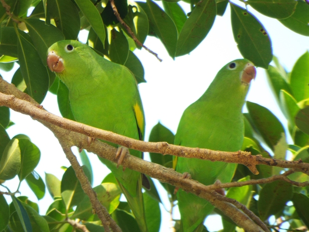 yellow-chevroned-parakeet1