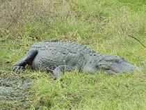 Big alligator at Sweetwater Wetlands Park