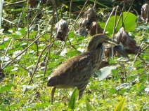 An American Bittern with lunch at Sweetwater Wetlands Park