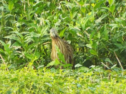 American Bittern at Sweetwater Wetlands Park