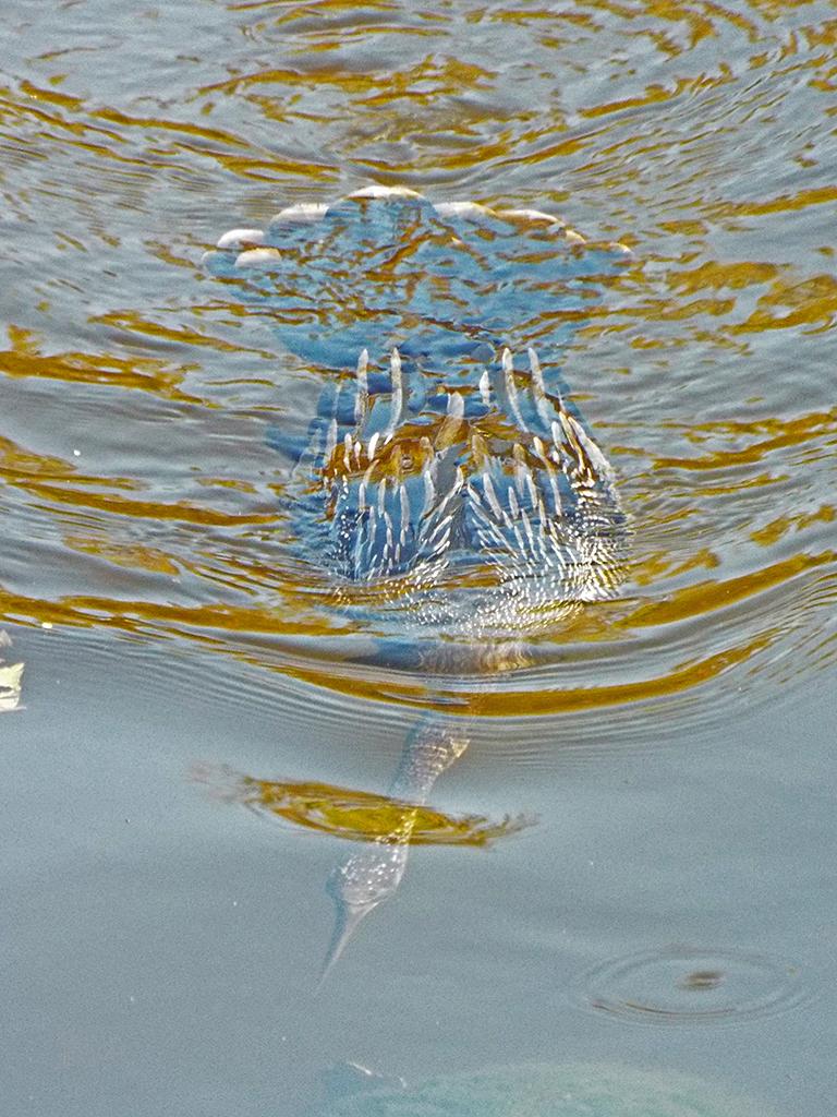 anhinga-underwater